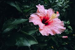 Mooie Roze Hibiscus Rosa Flower Royalty-vrije Stock Fotografie