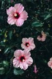 Mooie Roze Hibiscus Rosa Flowers royalty-vrije stock afbeelding