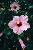Mooie Roze Hibiscus Rosa Flowers Stock Afbeelding
