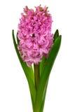 Roze hyacint Stock Afbeeldingen