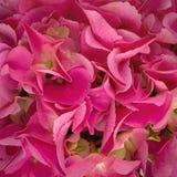 Mooie Roze Hydrangea hortensia Dichte Omhooggaand Stock Afbeelding