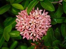 Mooie roze ixora Royalty-vrije Stock Afbeelding