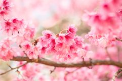 Mooie roze kersenbloesems in tuin royalty-vrije stock afbeelding