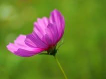 Mooie roze kosmosbloemen in de tuin, Thailand Stock Afbeelding