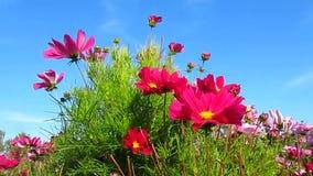 Mooie roze kosmosbloemen en hemel stock footage