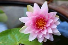 Mooie roze lotusbloem Royalty-vrije Stock Foto's