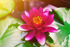 Mooie roze lotusbloem met groene bladeren die op oppervlakte van vijver bloeien royalty-vrije stock foto's