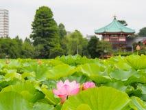 Mooie roze lotusbloem in Ueno-park, Tokyo, Japan Stock Afbeelding