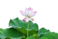 Mooie roze lotusbloembloem die op wit wordt geïsoleerd Gespaard met clippi royalty-vrije stock afbeelding