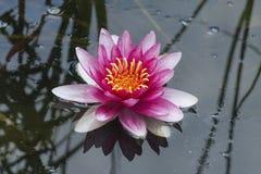 Mooie roze lotusbloembloem op meerwater op parkachtergrond royalty-vrije stock foto