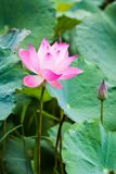 Mooie roze lotusbloembloem in vijver stock fotografie