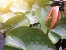 Mooie roze lotusbloemknop in vijver royalty-vrije stock foto