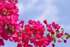 Mooie roze magenta bougainvilleabloemen en blauwe hemel Royalty-vrije Stock Afbeeldingen