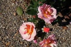 Mooie roze nam in bloei toe Ondiepe diepte van gebied, selectieve nadruk royalty-vrije stock afbeeldingen