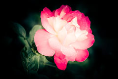 Mooie roze nam bloem met waterdalingen toe Royalty-vrije Stock Afbeeldingen