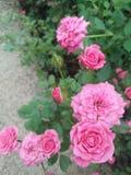 Mooie roze nam bloem in tuin toe Stock Fotografie