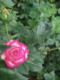 Mooie roze nam bloem in tuin toe Stock Afbeeldingen