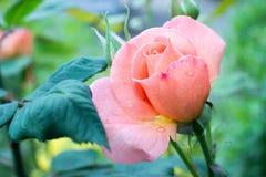Mooie roze nam in de tuin toe Royalty-vrije Stock Foto