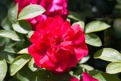 Mooie roze nam in een tuin toe Royalty-vrije Stock Fotografie