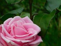 Mooie roze nam in een tuin toe Royalty-vrije Stock Foto's