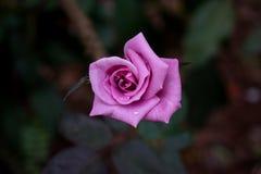 Mooie roze nam met achtergrondonduidelijk beeld toe stock afbeelding