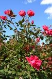 Mooie Roze nam Struik toe Royalty-vrije Stock Foto's