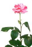 Mooie roze nam toe Stock Fotografie