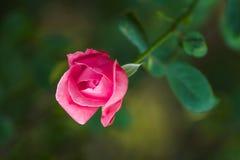 Mooie Roze nam toe Royalty-vrije Stock Afbeelding