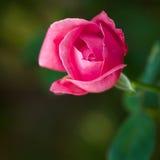 Mooie Roze nam toe Stock Foto's