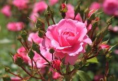 Mooie Roze nam toe Stock Afbeelding