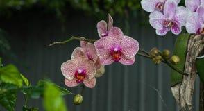 Mooie roze orchidee? achtergrond die in ps wordt gecreërd Royalty-vrije Stock Foto's