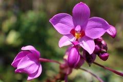 Mooie roze orchidee? achtergrond die in ps wordt gecreërd Stock Afbeeldingen