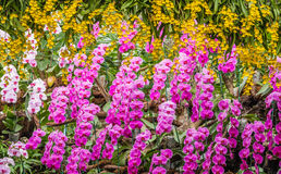 Mooie roze orchidee die in tuin bloeien stock afbeelding