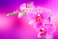 Mooie roze orchideebloem royalty-vrije stock foto's