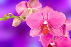 Mooie roze orchideebloem royalty-vrije stock foto