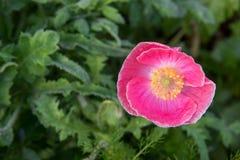 Mooie roze Papaverbloem Stock Foto