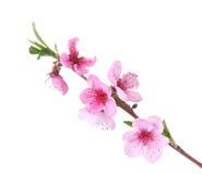 Mooie roze perzikbloesem Stock Afbeelding