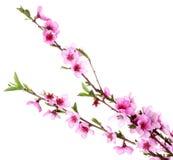 Mooie roze perzikbloesem Stock Foto