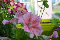 Mooie roze petuniabloemen De mening van de close-up stock foto's