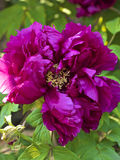 Mooie roze pioen Royalty-vrije Stock Afbeelding