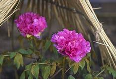 Mooie roze pioen onder tent Royalty-vrije Stock Afbeeldingen