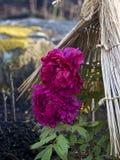 Mooie roze pioen onder tent Stock Afbeelding