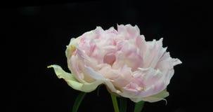 Mooie roze pioenachtergrond Bloeiende open pioenbloem, tijdtijdspanne, close-up Huwelijksachtergrond, de Dag van Valentine stock video