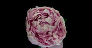 Mooie roze pioenachtergrond Bloeiende open pioenbloem, tijdtijdspanne, close-up Huwelijksachtergrond, de Dag van Valentine stock footage