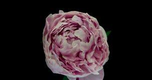 Mooie roze pioenachtergrond Bloeiende open pioenbloem, tijdtijdspanne, close-up Huwelijksachtergrond, de Dag van Valentine stock videobeelden