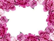 Mooie roze pioenen op witte achtergrond Royalty-vrije Stock Afbeelding