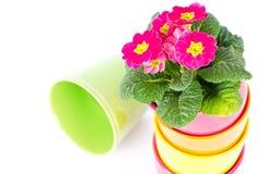 Mooie roze primula's in kleurrijke emmers Royalty-vrije Stock Foto's