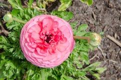 Mooie mooie roze Ranunculus of de Boterbloem bloeien bij Honderdjarig Park, Sydney, Australië stock foto's
