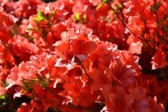 Mooie roze rododendronbloemen die in de vroege lente bij meer Como bloeien stock afbeeldingen