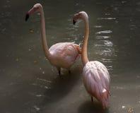 Mooie roze Rosy Flamingos die in het water rusten Royalty-vrije Stock Foto's
